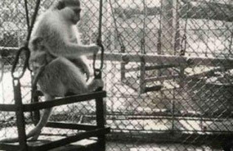 קוף בגן העיר